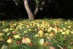 Thumbnail Windfall apples, organic farming, Unterallgaeu, Allgaeu, Bavaria, Germany, Europe