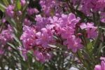 Thumbnail Oleander (Nerium oleander), flowers, Rhodes, Greece, Europe
