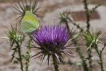 Thumbnail Small Cabbage White (Pieris rapae) on Milk Thistle (Sylibum marianum), Rhodes, Greece, Europe