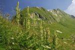 Thumbnail White Hellebore (Veratrum album), Vaud Alps, Switzerland, Europe