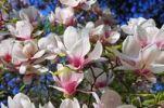 Thumbnail Magnolia blossoms, Magnolia (Magnolia), Planten un Blomen, Hamburg, Germany, Europe