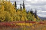 Thumbnail Indian Summer, autumn along Haines Road, towards Haines Pass, Alaska, leaves in fall colours, Kluane National Park and Reserve, Yukon Territory, Canada