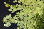 Thumbnail Leaves of Yellow Water-lily, Yellow Pond-lily (Nuphar lutea, Nuphar advena, Nuphar fluviatilis), Biebrza river near Sztabin, Biebrzanski National Park, Poland, Europe
