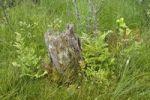 Thumbnail Rotting tree stump near Suchar Rzepiskowy Lake, Wigierski National Park, Poland, Europe