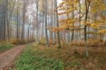 Thumbnail Colourful forest in autumn with beeches (Fagus sylvatica), Unterallgaeu, Allgaeu, Bavaria, Germany, Europe
