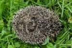 Thumbnail little young hedgehog Erinaceus europaeus