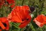 Thumbnail Oriental poppy (Papaver orientale), flowers with seedhead or boll