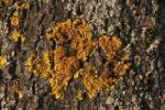 Thumbnail Yellow tree lichen