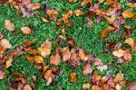Thumbnail Autumn leaves on grass