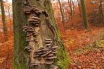 Thumbnail Wild-growing Oyster mushrooms (Pleurotus ostreatus), on a beech tree trunk (Fagus sylvatica), Taunus, Hesse, Germany, Europe