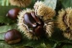 Thumbnail Sweet Chestnuts or Marrons (Castanea sativa), chestnuts with opened hairy shells on leaves