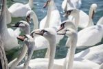 Thumbnail Mute swans (Cygnus olor) waiting for food, Lake Zurich, Zurich, Switzerland, Europe