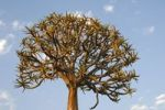 Thumbnail Quiver tree or Kokerboom (Aloe dichotoma), Namaqualand, South Africa, Africa