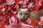 Thumbnail Burmese cat
