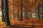 Thumbnail Beech grove with autumn-coloured leaves, European Beech (Fagus sylvatica)