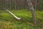 Thumbnail Forest near Roztoka, Kampinoski National Park, Poland, Europe
