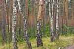 Thumbnail Birches (Betula) in pine forest near Roztoka, Kampinoski National Park, Poland, Europe