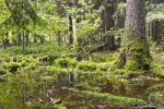 Thumbnail Bialowieza Forest, Bialowieza National Park, Poland, Europe
