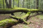 Thumbnail Fallen tree, moss-covered, Bialowieza Forest, Bialowieza National Park, Poland, Europe