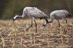 Thumbnail Cranes (Grus grus), Mecklenburg-Western Pomerania, Germany, Europe