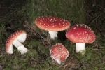 Thumbnail Fly Agaric (Amanita muscaria), Untergroeningen, Baden-Wuerttemberg, Germany, Europe
