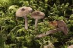 Thumbnail Brown Violet Fiber Caps (Inocybe cincinata), Untergroeningen, Baden-Wuerttemberg, Germany, Europe
