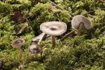 Thumbnail Buttery Collybia (Collybia butyracea var Asema), Untergroeningen, Baden-Wuerttemberg, Germany, Europe