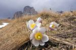 Thumbnail Spring Pasque flowers (Pulsatilla vernalis, Anemone vernalis) on the Pian dai Manc below Zahnkofel peak, Dolomites, Italy, Europe