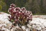 Thumbnail Butterbur (Petasites sp.), Dolomites, Italy, Europe