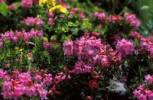 Thumbnail Rhododendron hirsutum - Slovenia