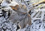 Thumbnail Autumn leaves with hoarfrost, frost