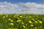 Thumbnail Meadow with dandelions (Taraxacum sect. Ruderalia) in Summer, nutrient-rich meadow, North Friesland district, Schleswig-Holstein, Germany, Europe
