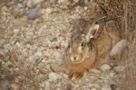 Thumbnail European Hare (Lepus europaeus) crouched in a shallow form, Allgaeu, Bavaria, Germany, Europe