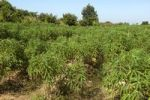 Thumbnail Cultivation of Cassava or Manioc (Manihot esculenta), Siem Reap, Cambodia, Southeast Asia