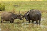 Thumbnail Water buffalo cow (Bubalus arnee) with calf on a pasture, Cambodia, Southeast Asia