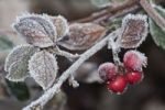 Thumbnail Cotoneaster (Cotoneaster sp.), with the first frost on leaves and berries, Untergroeningen, Baden-Wuerttemberg, Germany, Europe