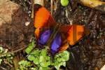 Thumbnail Marpesia corita, Costa Rica