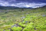 Thumbnail Landscape with ferns, Skarvan and Roltdalen National Park, Skarvan og Roltdalen, Sør-Trøndelag, Sor-Trondelag county, Norway, Scandinavia, Europe