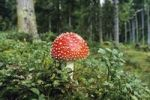 Thumbnail Fly Agaric (Amanita muscaria), Bavaria, Germany, Europe