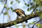 Thumbnail Eurasian Sparrowhawk (Accipiter nisus), male with prey, plucking, Upper Bavaria, Bavaria, Germany, Europe