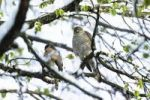 Thumbnail Sparrowhawks (Accipiter nisus), couple in late winter, Upper Bavaria, Germany, Europe