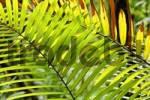 Thumbnail leaves of a palm in rainforest, Rara Avis, Costa Rica