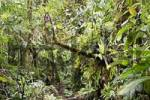 Thumbnail path in rainforest, Rara Avis, Las Horquetas, Costa Rica