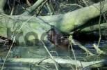 Thumbnail European otter