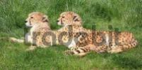 Thumbnail Two cheetahs Acinonyx jubatus