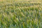Thumbnail Barley (Hordeum vulgare), mixed with Oats (Avena), oat field, Upper Bavaria, Bavaria, Germany, Europe, PublicGround