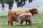 Thumbnail Scottish Highland cattle (Bos primigenius f. taurus) suckling calf, Allgaeu, Bavaria, Germany, Europe