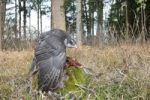 Thumbnail Goshawk (Accipiter gentilis) mantling, covering Pheasant (Phasianus colchicus) prey with his wings, Allgaeu, Bavaria, Germany, Europe