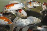 Thumbnail Koi, or Nishikigoi (Cyprinus carpio) in aquarium