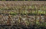 Thumbnail Harvested corn field near Markt Schwaben, Bavaria, Germany, Europe